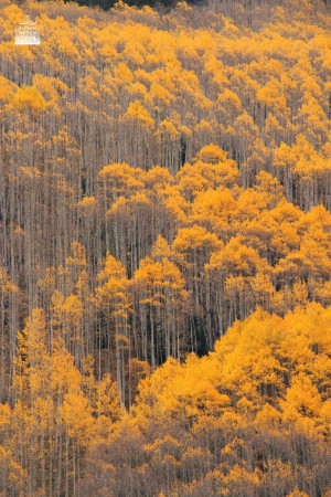 For me, the golden glow of the autumn aspen trees is a direct ...