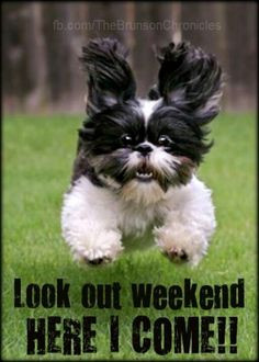 ... your weekend!! #weekend #puppies #animals #shihtzu #dogs #pups #cute