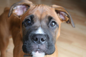 other names german boxer deutscher boxer height male weight male