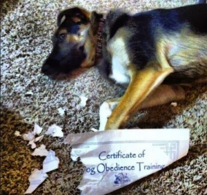 Funny Dog Chews Certificate Obedience Training Joke Picture