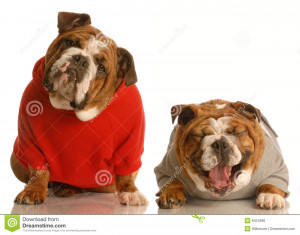 Two english bulldogs sharing a joke where one doesn't get the ...