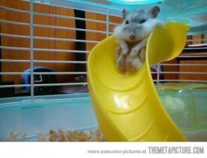 ... .net/images/2012/09/20/funny-fat-hamster-slide_134812335369.jpg