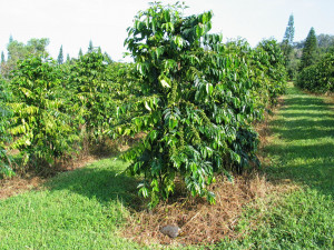 Coffee Bean Tree Logo Trees...