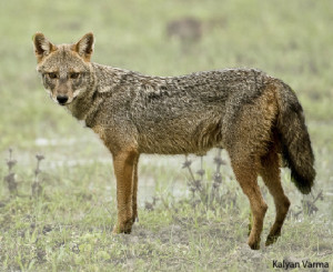 Survey of the Golden Jackal in India: Join this community-driven ...