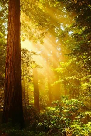 Inspiring Redwoods ~ Crepuscular rays of sunlight bursting through ...