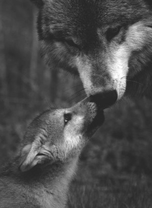 animal, black an white, cute, dog, kiss, love, nose, wolf