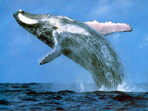 Whaling - Society for the Advancement of Animal Wellbeing