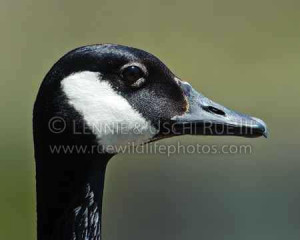 Adult Canada goose note typical white chin strap