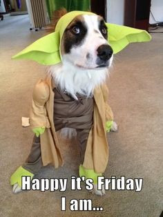 Happy it's Friday he is... #Friday #Funny #Dogs #Yoda #StarWars More