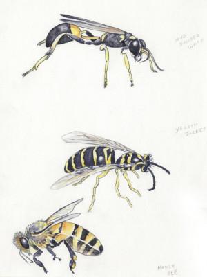 Bees vs Wasps Identification