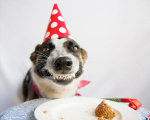Adorable Pug wishing for a real cake for her birthday