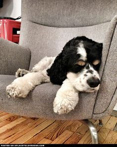 Cute English Cocker Spaniel Woody, who works at tumblr, snoozing on a ...