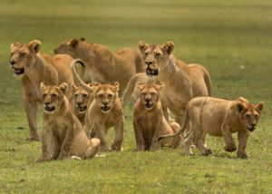Pride Of Lions However this lion pride photo