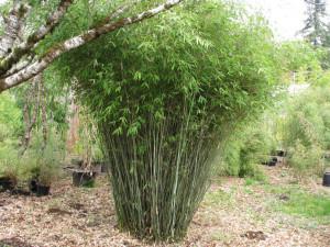 Pruning Clumping Bamboo...