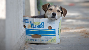 street dog sits in a cardboard box in Bucharest, Romania, May 17 ...