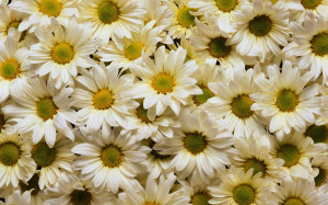 White Daisies Wallpapers Pictures Photos Images