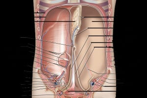Search Results for: Human Anatomy Abdomen