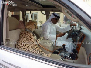 Funny Arab Tiger Pet Funny Picture