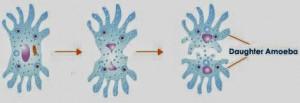 Binary Fission Amoeba Binary Fission In Amoeba