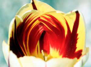Displaying 19> Images For - I Love You Tulips...