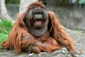 Funny Orangutan Funny orangutan meme funny