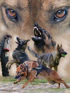 Military and Law Enforcement Working Dogs. Home and Family Protector ...