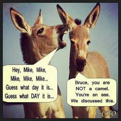 wednesday hump day joke more laughing camel hump day quotes ibizan ...