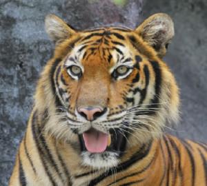 Sumatran Tiger National Geographic