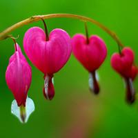 Blossoming Bleeding Heart