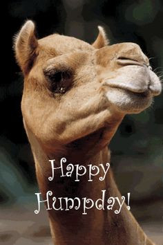 camel hump day image quotes for facebook   ... Graphics Site > Happy ...