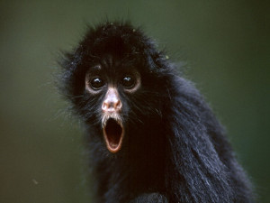 Photo: Young black spider monkey
