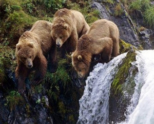 Young Grizzly's Doing Doing Some Fishing at the Small Falls.