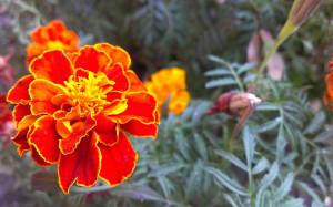 French Marigold background