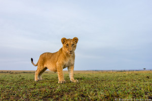 Lioness And Lion Funny Cub