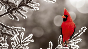 Northern Cardinal Bird Frozen Branch Desktop Wallpaper