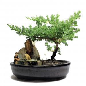 Indoor Juniper Bonsai Tree