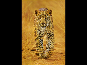 Quotes About Cheetahs. QuotesGram