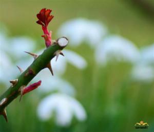 Optimism Through Rose Thorns