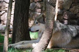 Alpha+male+wolf