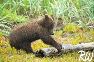 Funny Grizzly Bear Attack