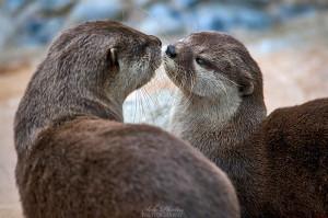 Cute Otters Photograph otter couple by joe