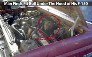 Man Finds Pit Bull Under The Hood of His F-150