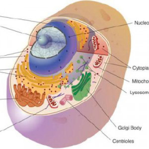 all about animal cells source http quoteko com theanimalcell html