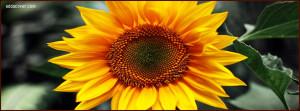 6519-sunflower.jpg