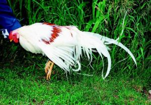 Game Chicken Breeds