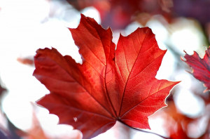 sun red leaves canada maple leaf 2256x1496 wallpaper Space Sun HD