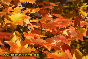 fall,leaves,color,orange,autumn,leaf,tree,branch,