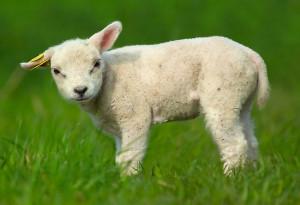 cute sheep »