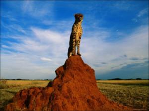Cheetah: Quotes
