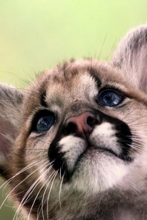 animals cougars wallpaper baby